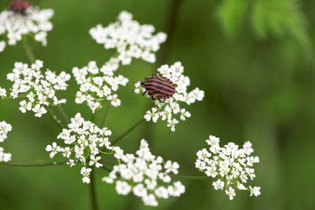 lineatum: Red and black shield bug on white flower (Conopodium, Bulbocastano) Stock Photo