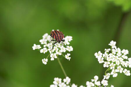 Red and black shield bug on white flower (Conopodium, Bulbocastano) Stock Photo