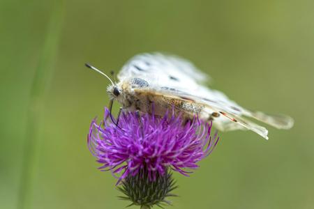 Butterfly (Parnassius Apollo Linnaeus) on Flower Purple thistle