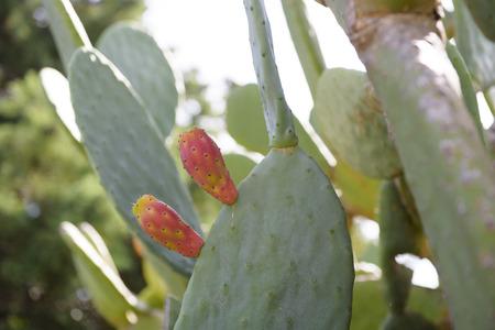 Prickly pear fruit (Opuntia, Fico dIndia), Catania, Sicily, Italy