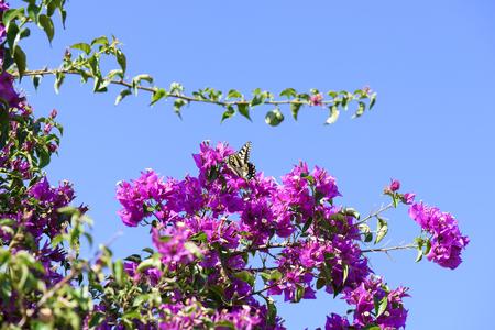 Butterfly (Papilio Machaon) flies on beautiful Bougainvillea Flowers on Blue Sky Background