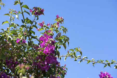 Butterfly (Papilio Machaon) flies on beautiful Bougainvillea Flowers on Blue Sky Background