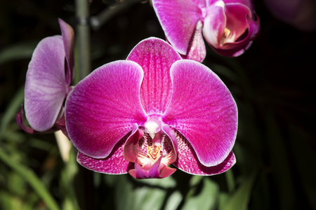 Pink Orchid, Phalaenopsis aphrodite hybrid close-up Stock Photo