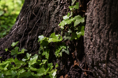 Ivy (Hedera Helix) plant climbing up tree trunk Stock Photo