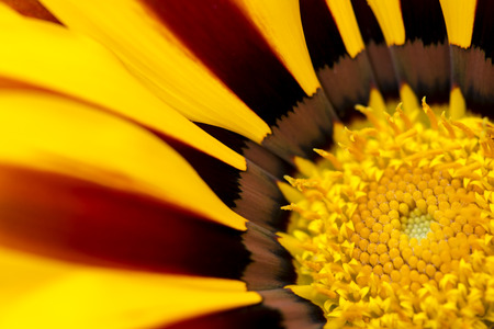 Beautiful Gazania Flower Detail, Close Up, Macro Photography Stock Photo