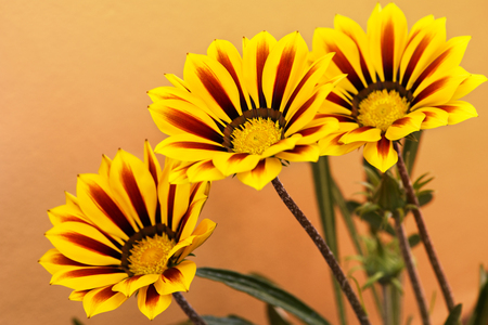 Beautiful Gazania Flowers