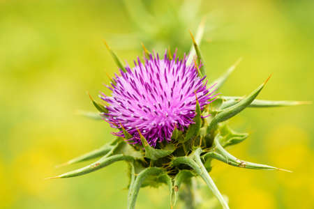 The beautiful prickly purple thistle growing in the meadow