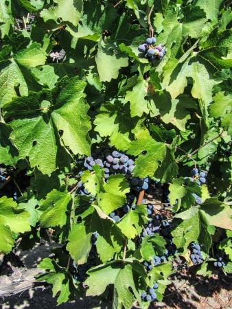 cabernet sauvignon: Ripe Cabernet Sauvignon Grapes