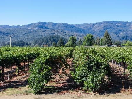 cabernet sauvignon: Napa Valley Afternoon
