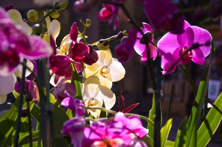Backlit Orchids in the Sun