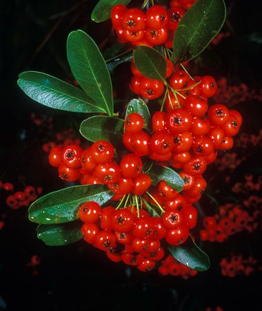 Holiday berries 2 Stock Photo