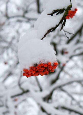 eberesche: Winter. Rowan unter Schnee.
