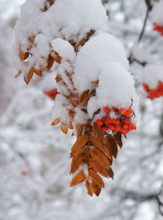 rowan: Winter. Rowan under snow.