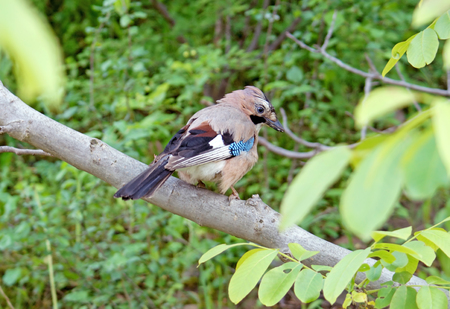 jay: Jay sits on a branch of walnut (bird on a branch) Stock Photo