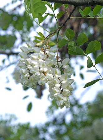 White flowers acacia acacia branch flowering clusters stock white flowers acacia acacia branch flowering clusters stock photo 58749077 mightylinksfo