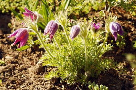 Beautiful purple little furry pasque-flower.  Blooming of Pulsatilla vulgaris at springtime. Stock Photo