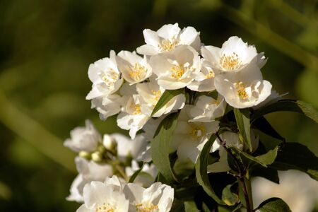 Bush branch with white flowers of jasmine.  White aroma flowers of jasmine. Stock Photo