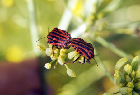 Couple of Graphosoma lineatum - red and black striped beetles.