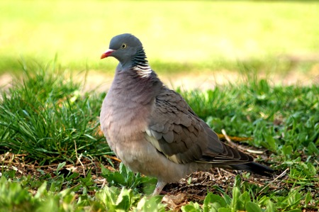 Wood Pigeon, Columba palumbus. Common wood pigeon on green grass.