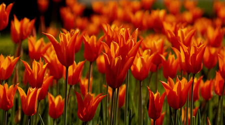 Red tulips in garden. Background of red flowers. Spring beauty. Stock Photo