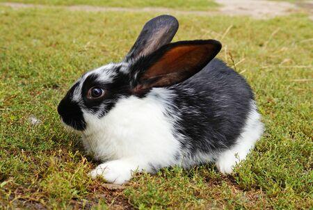 Klein zwart-wit konijn op het groene gazon. Leuk babykonijn.