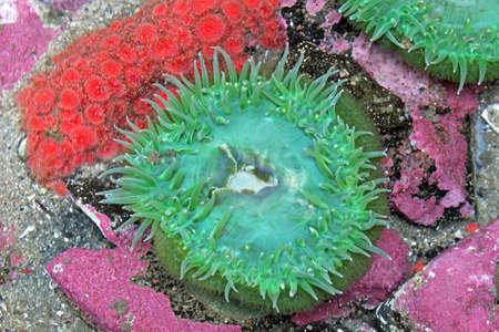 藻の緑と赤のアネモネ