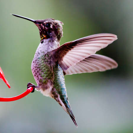 pollinator: Hummingbird perched on red feeder with wings outstretched