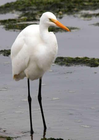 ardeidae: Great white egret wading in ocean beach in the rain Stock Photo