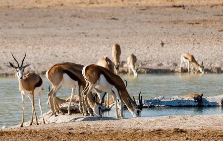Springbok breakfast in Etosha, Namibia