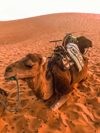 Dromedary of the Sahara desert in Merzouga, Morocco Foto de archivo