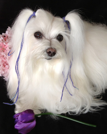 Maltese breed is a loving and caring lap dog