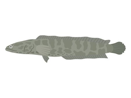 Illustration of a freshwater fish torpedo