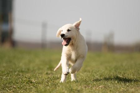 puppy retriever