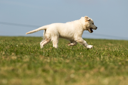 puppy retriever withe diamond in summer on a meadow