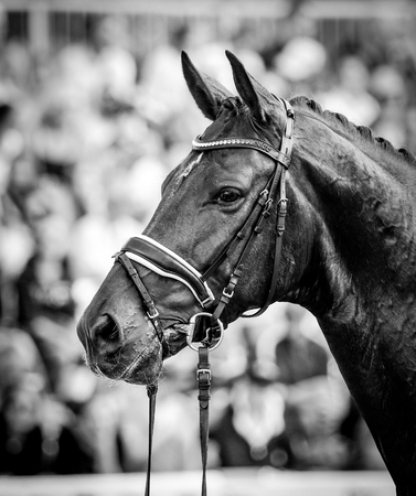 a horse in portraits at a tournament shows relaxed and chews out of hand Stock Photo