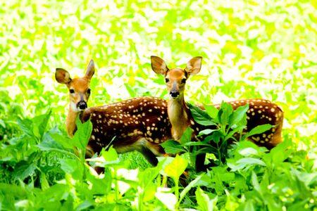 Whitetail シカ子鹿 写真素材