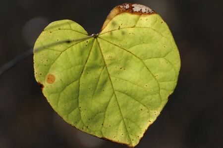 The heart shaped leaf of the Catalpa tree.
