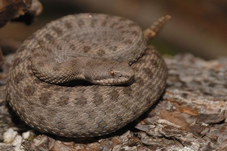 An endangered twin-spotted rattlesnake.