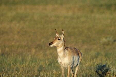 A female pronghorn foraging in the high plains of South Dakota. Stock Photo - 874450