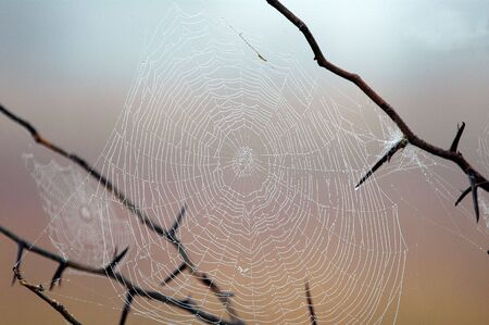 recluse: Spider web covered in dew on an early spring morning. Stock Photo
