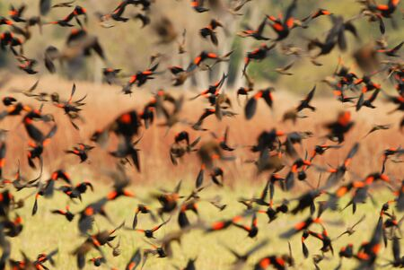 A flock of male red-winged blackbirds take off from a field. Banco de Imagens