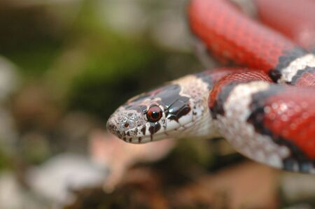 Redmilk snake in a defensive strike position.