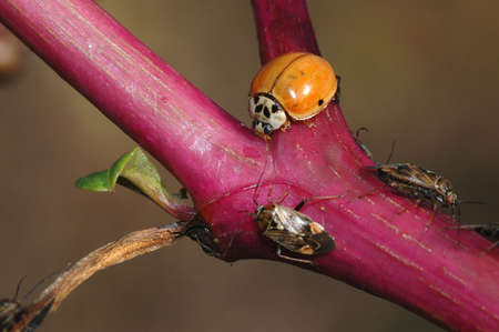congregate: A lady bug and various other bugs congregate on a brightly colored stem.