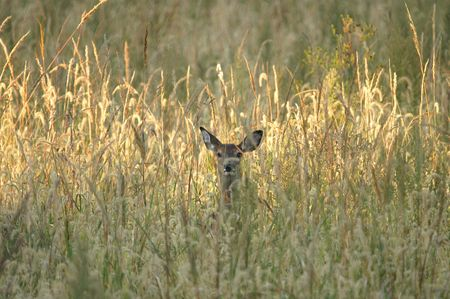 A White-tailed deer peeks through the tall grass at the photographer. Stock Photo - 874474