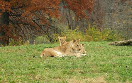 A family of African lions  lounge in the mid afternoon sun at the Kansas City Zoo. Stock Photo
