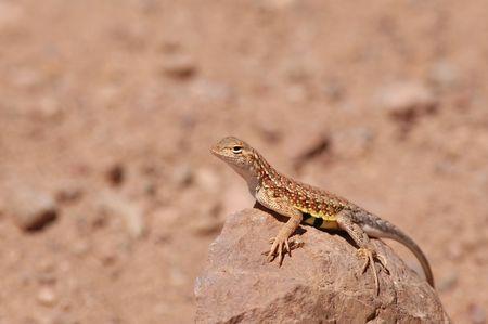 An Arizona earless lizard basks on a rock on a sunny day. Stock Photo - 874498