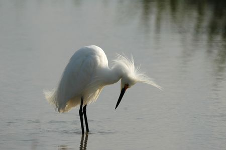 bad hair day: A great white heron appears to be having a bad hair day.