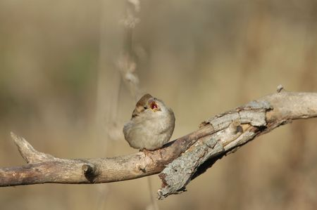 A small sparrow sings in the early morning sunlight. Stock Photo