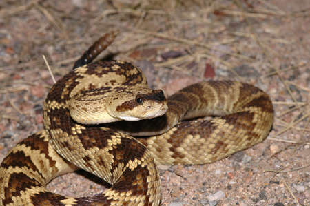 A beautiful golden colored blacktail rattlesnake is coiled in a defensive strike position. Stock Photo - 890552