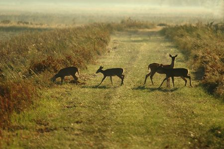 A family of white-tailed deer cross a path in the early morning fog.